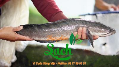 Cung cấp Mua bán sỉ cá lóc đồng tại tphcm