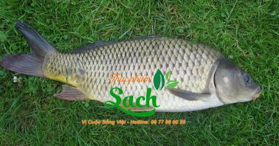 Mua bán Cá chép sỉ tphcm